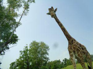 Safari Park Lago Maggiore Pombia la giraffa