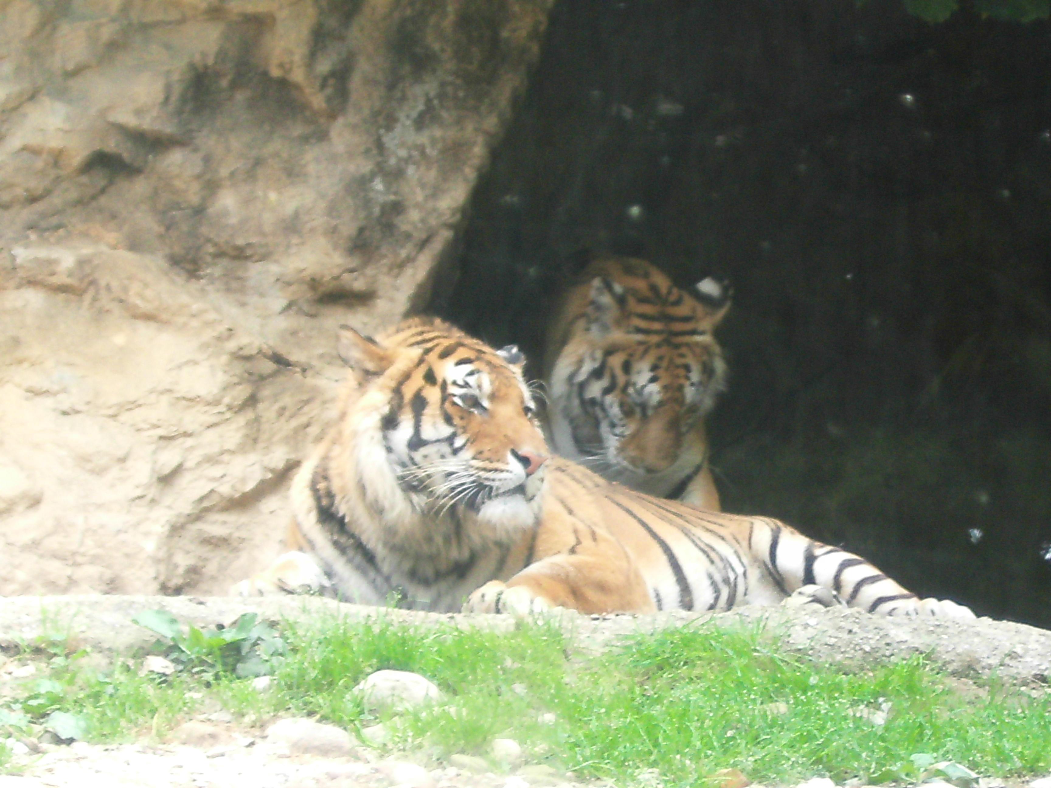 """Parco Faunistico """"Le Cornelle"""", le tigri"""