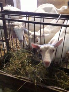 10 parchi con animali e fattorie in Lombardia,le caprette