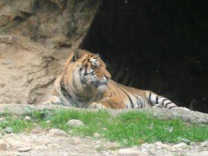 10 parchi con animali e fattorie in Lombardia,la tigre